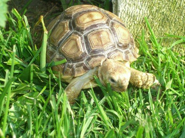 Monsterkröte - Gesamtlänge 15cm!