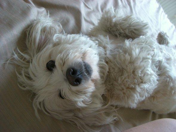 . . . und auf keinen Fall gehört ein Hund ins Bett - Fina interessiert es nicht ;))