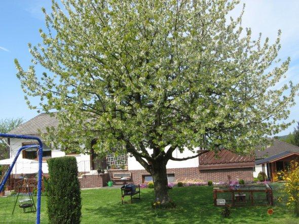 Blühender Kirschbaum mit Blick aufs Haus. Freue mich schon auf die leckeren Kirschen...