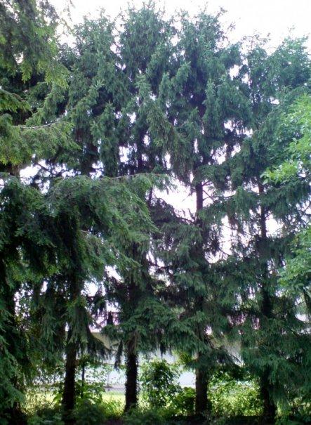 ... 22 dieser nadelnden Bäume stehen bei uns im Garten herum :-(