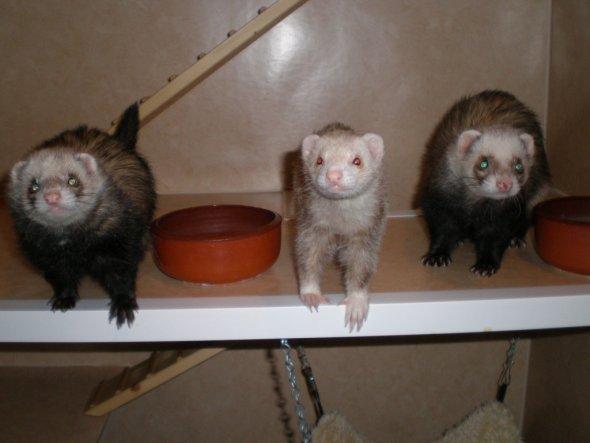 Unsere 3 Rabauken!  Nachtrag: Unseren Dickie (rechts im Bild) mussten wir neulich einschläfern lassen. Nun sind die Mädels nur noch zu z