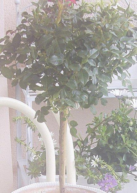 Dieses Rosenbäumchen konnte ich einfach nicht im Gartencenter lassen. Im Moment sind nur Knospen zu sehen, aber die Blüte soll pastellig Rosé werden.