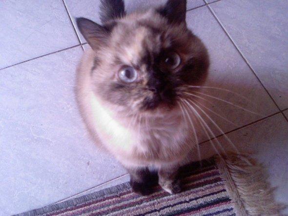 Bijou vom Fürstenwall, eine Exotic-Shorthair, sie wird im Juli 14 Jahre alt.