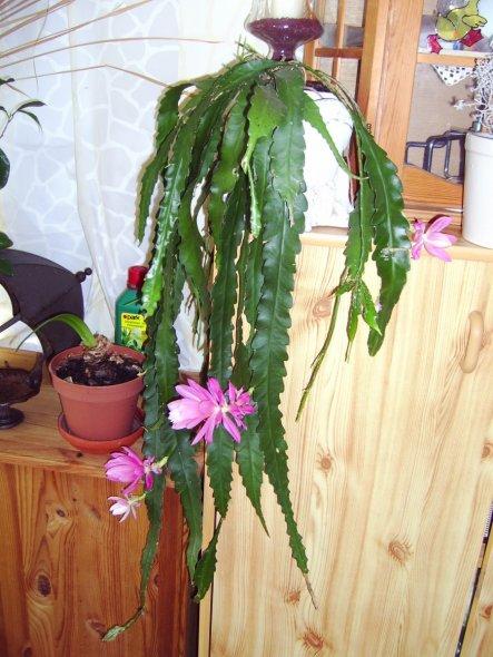 """Mein wunderschönes """"Kellerkind"""", die große Blüte ist 12 cm lang."""