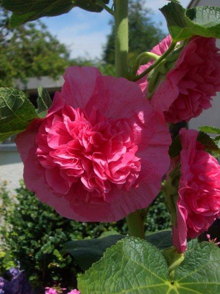 Die ersten Blüten von meiner  Stockrose und es kommen noch viele dazu.