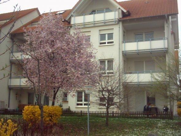 Die Blutpflaume vor unserm Haus erinnert an asiatische Kirschblüte. Später im Jahr hat sie dann blutrote Blätter.