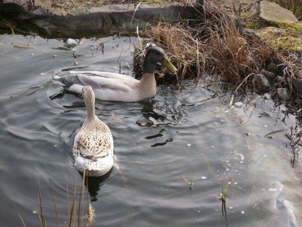Haustiere 'Laufenten im Frühjahr 2010'