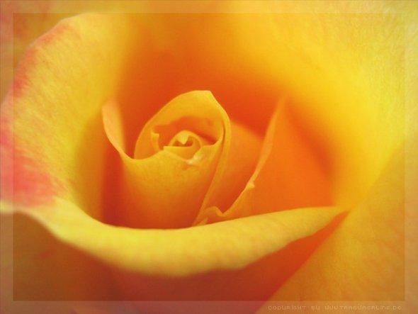 die Rose ist eine von vielen die letzten Sommer bei mir aufm Balkon gewachsen sind :)