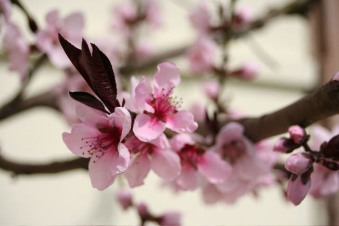 Garten 39 printemps 39 refugium nostrum zimmerschau - Pfirsichbaum im garten ...