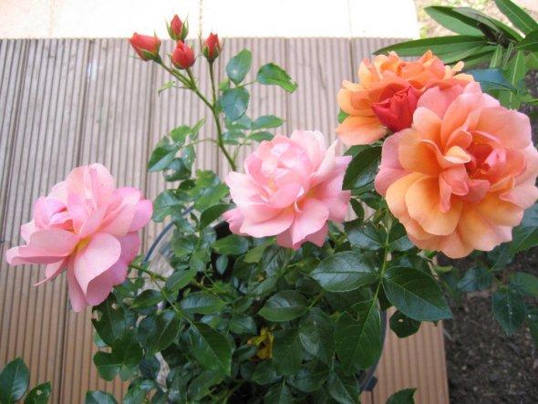 Meine Mutter ist vor 2 Monaten gestorben und eine liebe Freundin hat mir zur Erinnerung diese Rose geschenkt, sie blüht in Orange und Rosa.