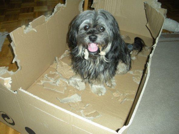 Winnie liebt es mit gr0ßen Kartons zu spielen, dieser war besonders groß. Deshalb dauerte es auch ein paar Tage bis er ihn in kleine Stücke zerlegt ha