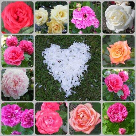 Rosen in unserem Garten, das Herz habe ich aus ausgefallenen Blütenblättern einer Pfingstrose gelegt.