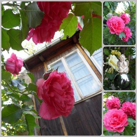 rosa Rose am Rosenbogen