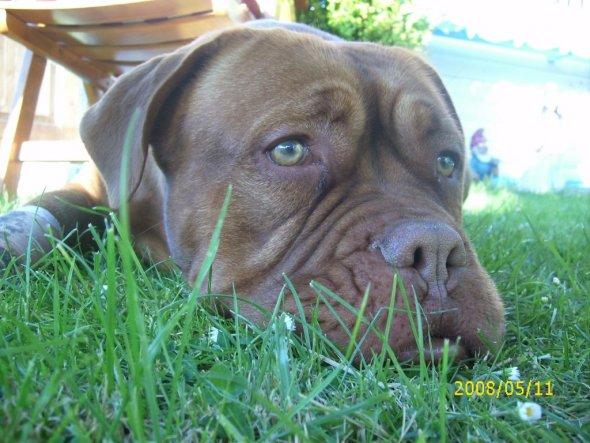 Duffy´s Freundin, Tequilla, eine Bordeaux Dogge, eine ganz ganz liebe