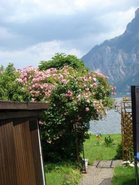 Garten ' Rosa Traum'