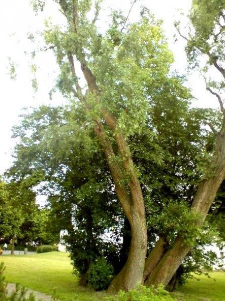 Direkt vor dem Haus wohnt schon seit vielen Jahren dieser schöne, grosse Baum.