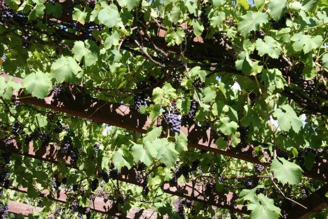 Die Weintrauben über unserer Terrasse