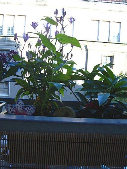 diese Orchidee ist sogar winterhart und sieht wunderschön aus
