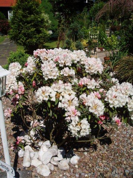 Ein prachtvoller Rhododendronbusch - erst pink - dann weiß ... herrlich