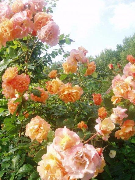 Alte Rosen duften unbeschreiblich....und sieht diese hier nicht wunderschön aus?