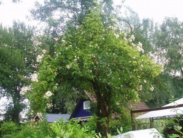 Bobby James - die Rose ist z.Zt. ca. 5m hoch - eine Pracht im Mirabellenbaum die alle Menschen zum stehenbleiben einläd....