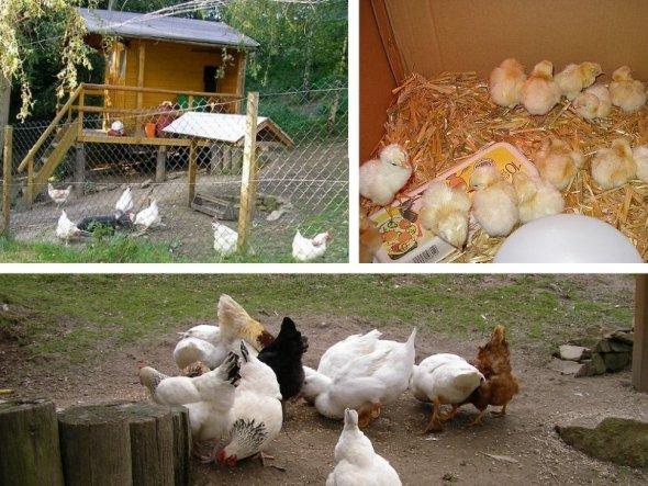 Hier seht ihr den Hühnerstall und ein Teil unserer Hühnerschar. Die Kücken rechts haben wir selbst ausgebrütet und anfangs auch allein aufgezogen. Nac