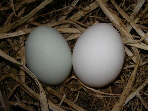 Unsere mintgrünen Eier, ich hab hier mal ein weißes Ei dazu gelegt damit man den Unterschied besser erkennt.