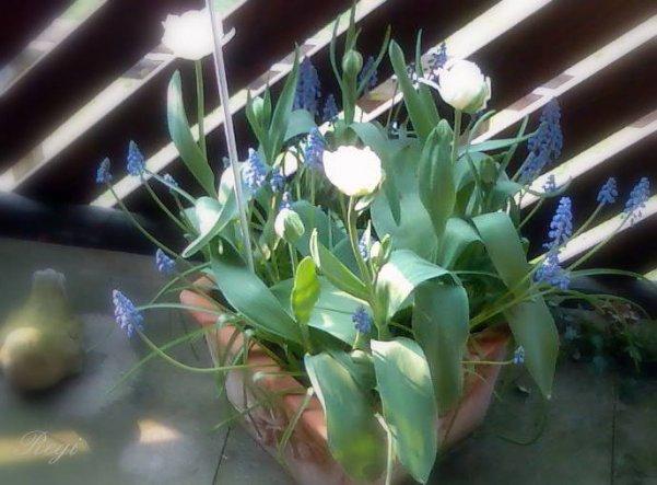 So, da sind sie meine Tulpen und Muscari.