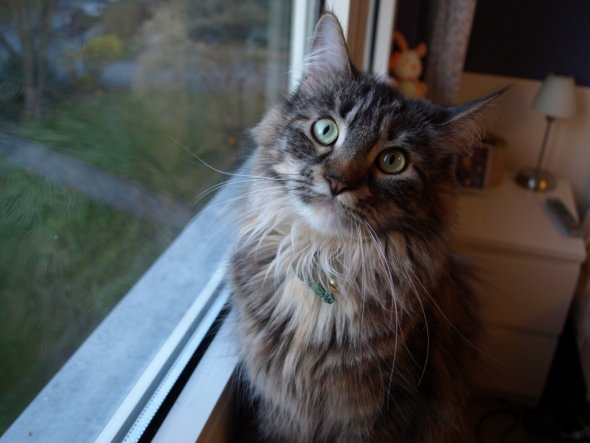 Maine Coon Dame