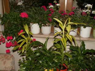 Winterquartier Balkonpflanzen