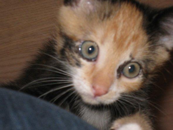 Mein neu Zugang, Pinki ein kleines freches dreifarbiges Kätzchen. jetzt ca. 9 Wochen alt und fühlt sich hier pudel wohl.