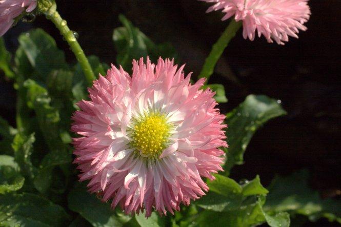 """diese wunderschönen rosafarbenden """"Lollies"""" habe ich hier und da ins Vorgartenbeet gepflanzt:-)"""