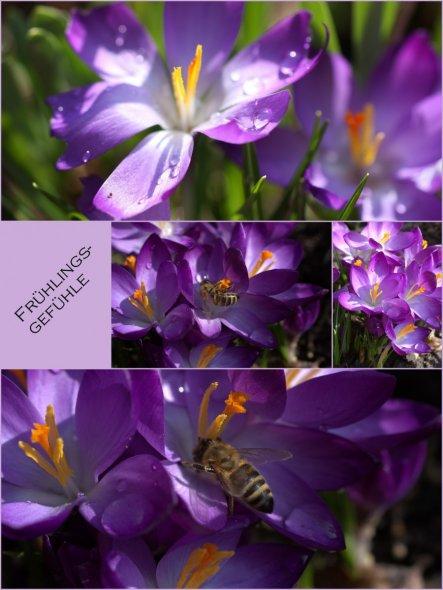 summ summ summ---- da lässt sich doch schon ein kleines Bienchen den Nektar der Kroküsschen schmecken! März 2012
