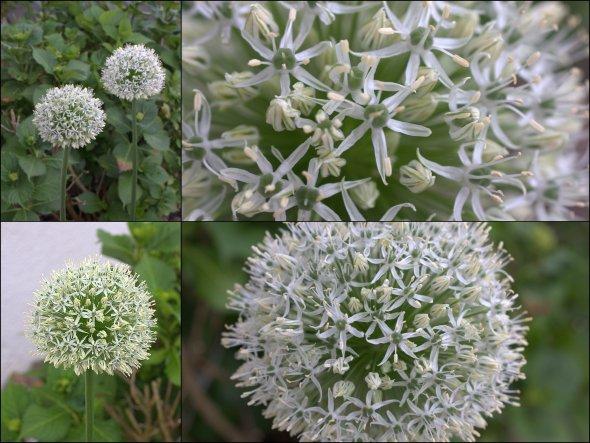 Allium Everest...im Vorgarten, so schön groß, dass er mir (fast)zum Küchenfenster hereinschaut! April/Mai 2012