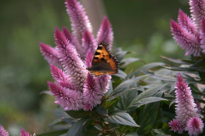 der kleine süße Schmetterling hat sich wirklich noch so lange an den Blüten gelabt, bis ich die Kamera hervorgeholt hatte! Perfekt!