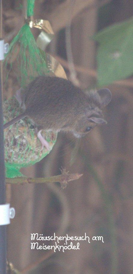 Mause-Knödel....! Fotografiert aus dem Wohnzimmerfenster...