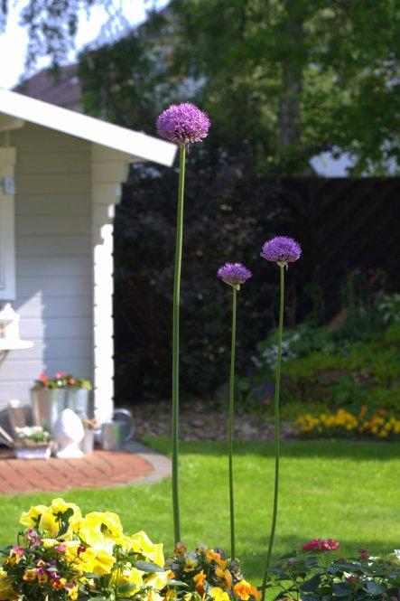 Mai 2013: An einem schönen Sonntag, der den Namen auch verdient! Überall im Garten öffnen sich nach und nach die Kugeln des Riesenlauchs :-)