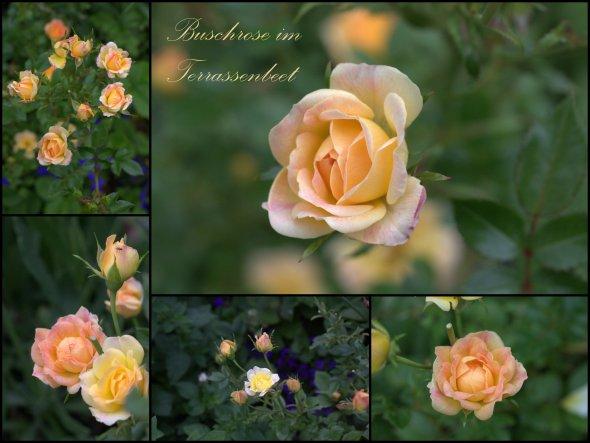 Juli 2013: die Buschrose aus dem Discounter blüht auch dieses Jahr wieder prachtvoll :-)