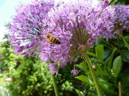 Bienchen sind auch schon fleißig!