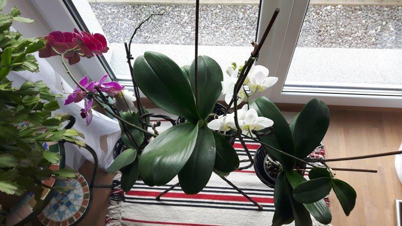 Meine Orchideen blühen zum xten Mal.