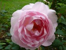 rose24861