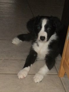 "Border Collie Welpe ""Jessy"""
