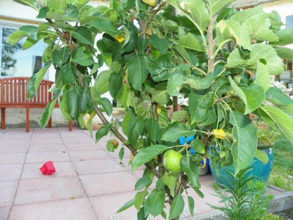 Das ist ein Zwerg Apfelbaum den wir im Frühjahr erst gepflanzt haben