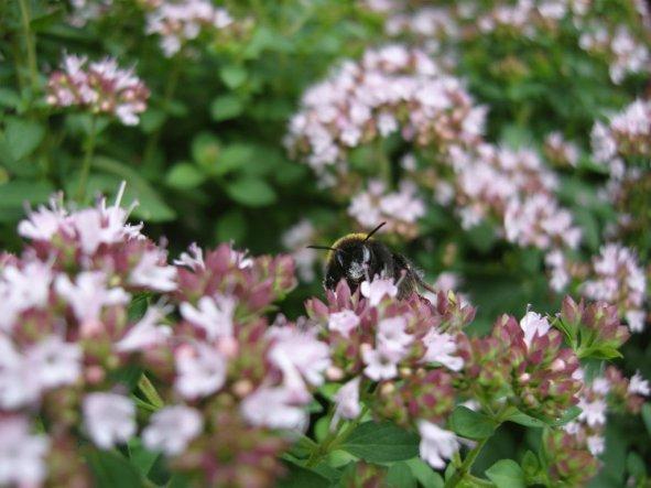Die Kräuter dienen gleichzeitig als Bienenweide