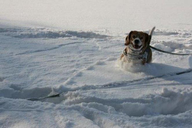 Haustiere 'Mein süsses Beaglemonster '