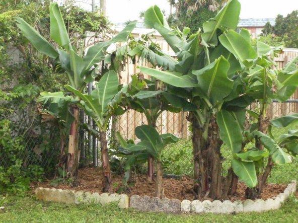 Unsere Bananenpflanzen