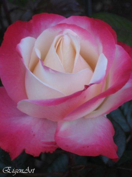 Diesen Rosenstrauch haben wir Anlässlich unserer Bierhochzeit geschenkt bekommen... Ich wollte euch die Bildkens nicht vorenthalten... ;)