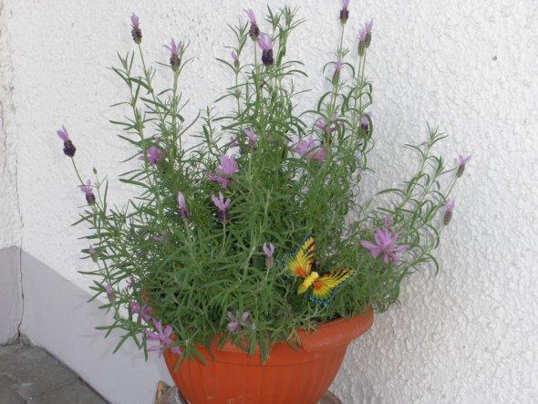 Mein schöner Lavendel