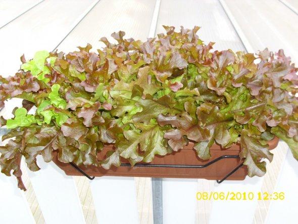 1 Versuch Salat im Kasten