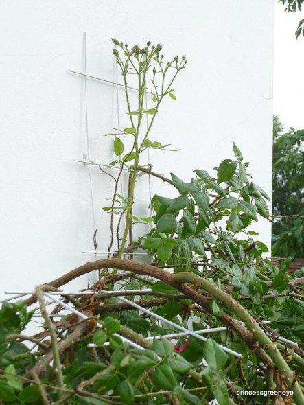 die Waffen einer Rose - der Held hat vielleicht geflucht, denn er muss sie ja wieder an der Hauswand befestigen.....